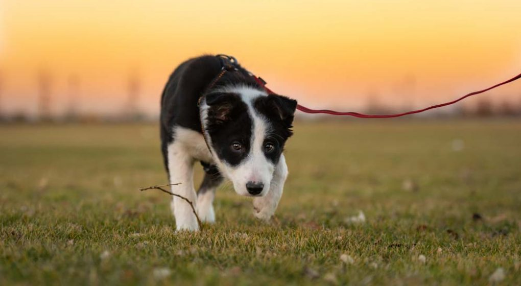 Border Collie Puppy on a Leash